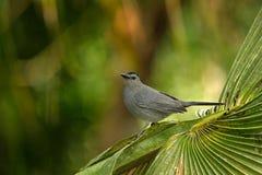 灰色猫声鸟, Dumetella carolinensis,鸟的监视人在中美洲 森林动物 从自然,伯利兹的野生生物场面 灰色双 库存照片