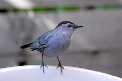 灰色猫声鸟 图库摄影