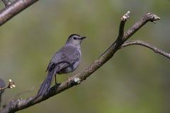 灰色猫声鸟 免版税库存图片