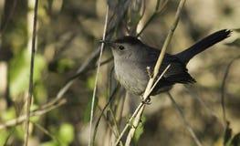 灰色猫声鸟(Dumetella carolinensis) 免版税库存图片