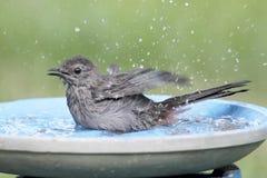 灰色猫声鸟(Dumetella carolinensis) 免版税库存照片