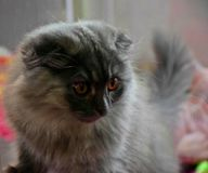 灰色猫开会和看 库存照片