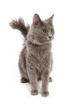 年轻灰色猫开会 库存照片