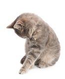 灰色猫开会 免版税库存图片
