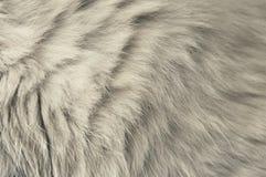 灰色猫毛皮 库存图片