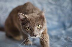 灰色猫看您非常恼怒 免版税库存图片