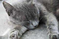 灰色猫睡觉 图库摄影