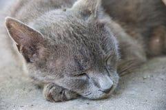 灰色猫睡觉 免版税图库摄影