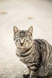 灰色猫观看 库存照片