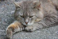 灰色猫说谎并且看起来延长在柏油路的一个爪子在街道 图库摄影