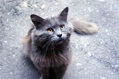 灰色猫逗人喜爱的神色 库存图片