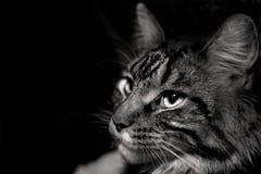 灰色猫的面孔 库存图片
