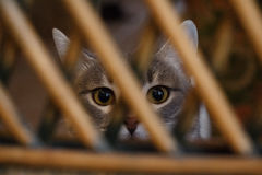 灰色猫黄色注视看在格子后的照相机 库存图片