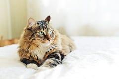 灰色猫说谎 免版税库存图片