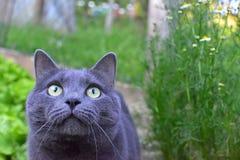 灰色猫画象在室外的 图库摄影