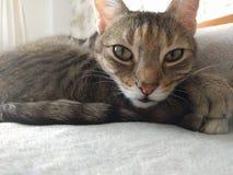 灰色猫 库存图片