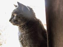 灰色猫 图库摄影