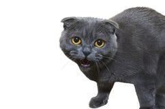 灰色猫 免版税图库摄影