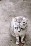 灰色猫 免版税库存照片