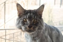 灰色猫Maikun在照相机前面摆在,坐窗台 免版税库存图片