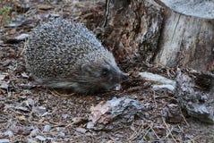 灰色猬在一个干燥树桩附近的森林 库存图片
