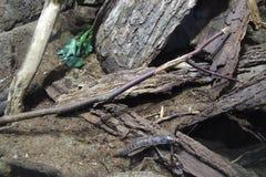灰色甲虫通过分支走 库存照片