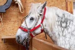 灰色白一匹的马 免版税库存照片