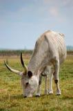灰色的牛 免版税库存图片