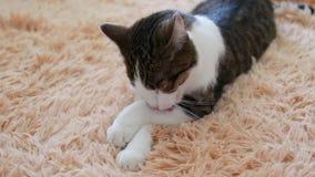 灰色的猫躺在沙发上洗澡 清晨洗 影视素材