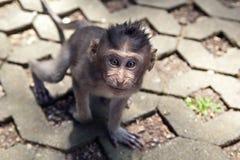 灰色短尾猿Cub在一条路的在猴子森林里在巴厘岛 免版税库存图片
