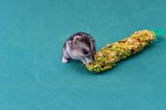 灰色矮小的仓鼠 图库摄影