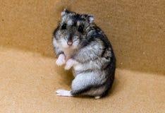 灰色矮小的仓鼠 库存照片