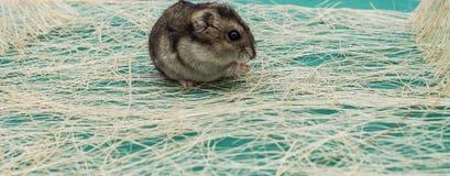 灰色矮小的仓鼠 免版税库存图片