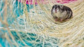 灰色矮小的仓鼠 免版税库存照片