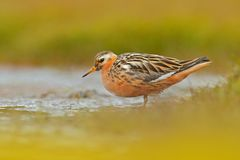 灰色矶鹞之类, Phalaropus fulicarius,橙色和棕色水禽在草自然栖所, Longyaerbyen,斯瓦尔巴特群岛,挪威 Wi 免版税库存图片