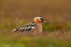 灰色矶鹞之类, Phalaropus fulicarius,橙色和棕色水禽在草自然栖所, Longyaerbyen,斯瓦尔巴特群岛,挪威 库存图片
