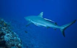 灰色礁石鲨鱼 免版税库存图片