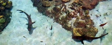 灰色礁石鲨鱼 免版税库存照片