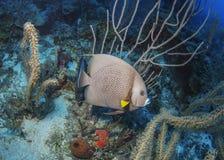 灰色神仙鱼Roatan,洪都拉斯 库存照片