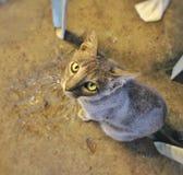 灰色离群猫 免版税库存照片