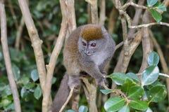 灰色竹狐猴,狐猴海岛, andasibe 免版税库存图片