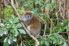 灰色竹狐猴,狐猴海岛, andasibe 库存图片