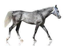 灰色纯血统阿拉伯公马在白色背景去隔绝 免版税图库摄影
