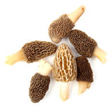 灰色组羊肚菌采蘑菇黄色 图库摄影
