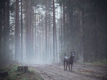 灰色美丽的神秘的孤独的泰国ridgeback狗在森林里 免版税库存图片