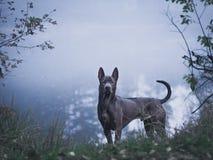 灰色美丽的神秘的孤独的泰国ridgeback狗在森林里 库存图片