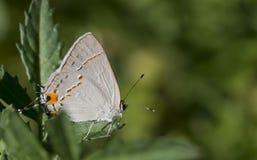灰色翅上有细纹的蝶蝴蝶 库存图片