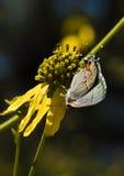 灰色翅上有细纹的蝶蝴蝶 图库摄影