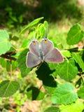 灰色翅上有细纹的蝶 图库摄影