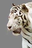 灰色老虎白色 免版税库存照片